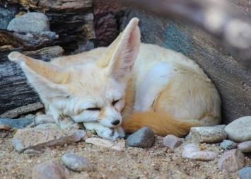 fennec-fox_15357837470_o