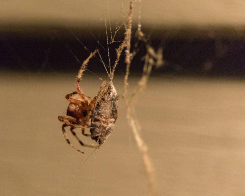 spider_27aug15-5_20913489296_o