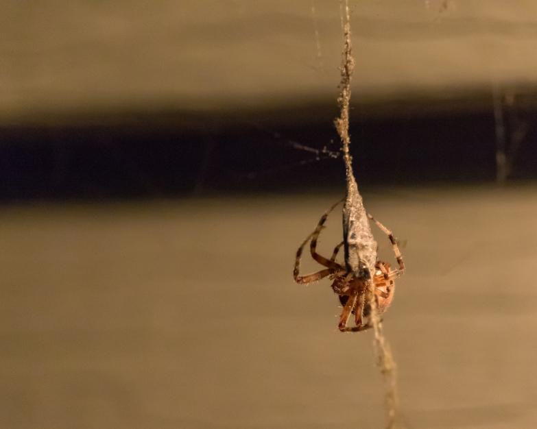 spider_27aug15-7_20317128824_o